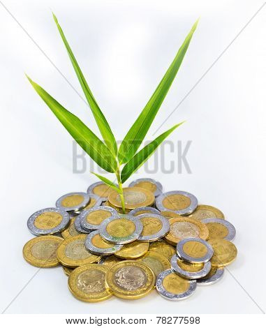 Mexican Peso Growth Plant