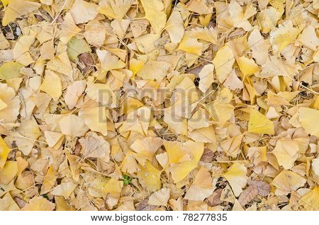 Ginkgo Leaf On The Floor