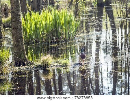 Dug In Famous Swamp Area In Usedom National Park
