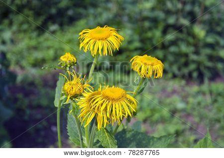 Elecampane (inula Helenium) Medical Plant In Bloom