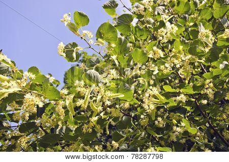 Blossoming Linden Tree Medical Blossoms Om Branches