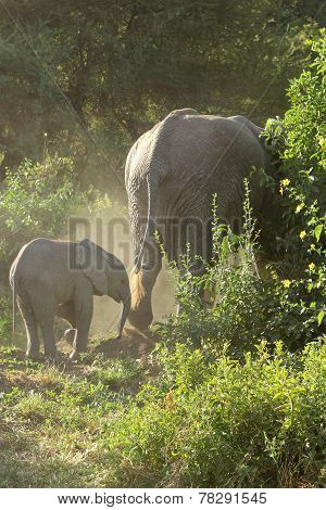 Baby African Elephant With Mother