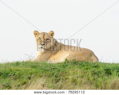 Lioness Evening Sun