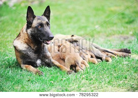 Female Dog  With Puppies