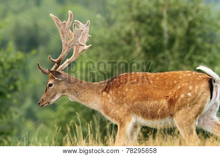 Beautiful Fallow Deer Buck