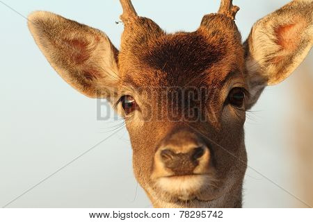 Funny Portrait Of Deer Buck