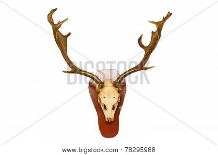 Old Fallow Deer Stag Hunting Trophy