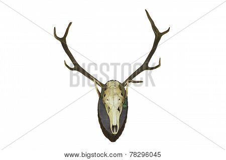 Red Deer Stag Hunting Trophy For Wall Mounting