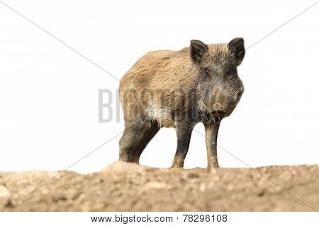 Wild Boar Over White