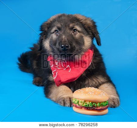 Black And Red Shaggy Puppy In Red Bandanna Lies On Blue With Hamburger