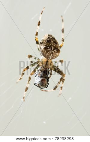 Macro Shot Of Spider With Caught Prey