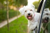 foto of car-window  - maltese puppy looking out the car window - JPG