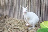 picture of wallabies  - Albino Wallaby with baby in the natural - JPG