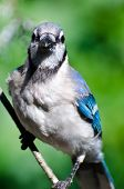 picture of blue jay  - A Blue Jay Making Eye Contact With You - JPG