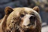 foto of grizzly bear  - Closeup portrait of a curious grizzly brown bear sniffing the air - JPG