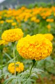stock photo of marigold  - Marigolds  - JPG