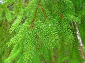 stock photo of pinus  - Pines are conifer trees in the genus Pinus in the family Pinaceae - JPG
