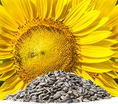 image of sunflower-seeds  - close up yellow sunflowers and dry seed on white background use for clean and organic food sunflower oil and related