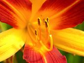 pic of stamen  - macro photography of bicolor lily with stamen - JPG