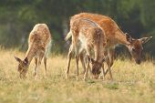 image of calves  - fallow deer family ( Dama ) hind with two young calfs grazing on a meadow instagram effect