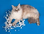 picture of pointed ears  - Siberian cat seal point lies with Christmas garlands on blue background - JPG