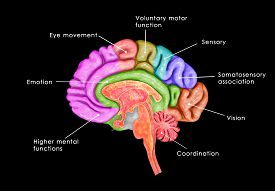 picture of frontal lobe  - The human brain has  three parts called the forebrain - JPG