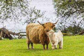 pic of incredible  - Incredible scottish cattle with calf  - JPG