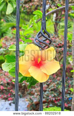 Yellow hibiscus blossom in iron fence