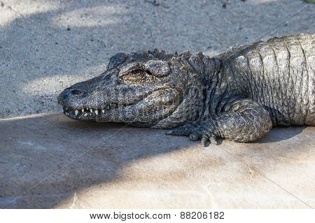 Alligator - Alligator Sinensis