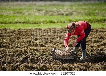 Woman Sowing Potatoes