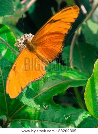 Butterfly orange Julia Longwing