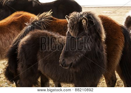 Portrait Of A Young Icelandic Foal With Curly Mane