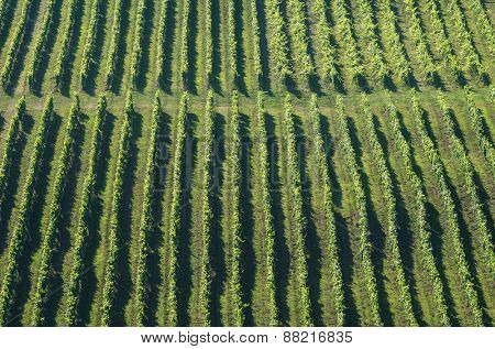 Green vineyard rows in summer