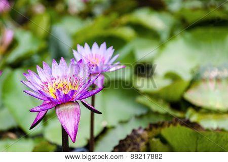 Lotus Flowers Nelumbo Nucifera On A Pond