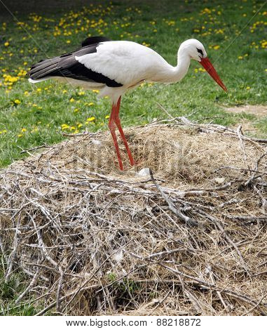 Stork Nest On The Farm In Rural Location With Eggs