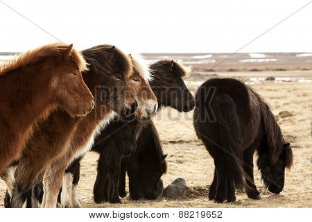 Herd Of Icelandic Ponies