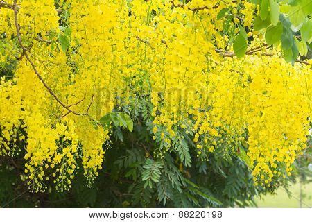 Flower Of Golden Shower Tree On White Background