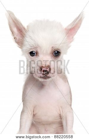 Close-up Of Chinese Crested Puppy