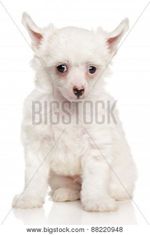 Portrait Of Chinese Crested Puppy