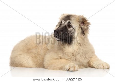 Caucasian Shepherd Puppy 5 Month