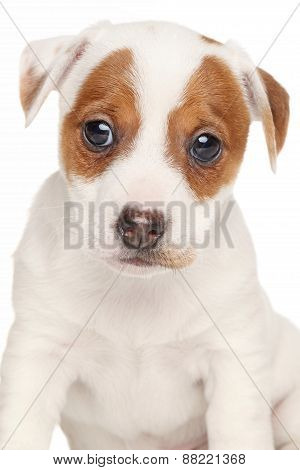 Jack Russell Terrier Isolated On White Background