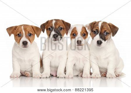 Group Of Jack Russell Puppies