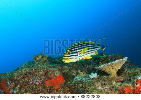 Oriental Sweetlips fish on coral reef