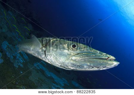 Great Barracuda fish