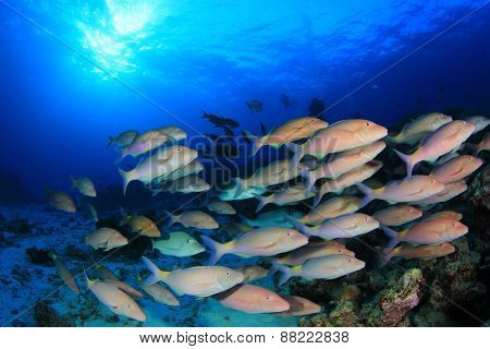 School of fish: Yellowsaddle Goatfish