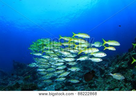 School of fish: Yellowfin Goatfish and Snappers