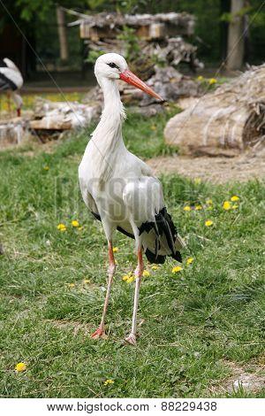 White Stork. Ciconia Ciconia On The Farm Rural Scene