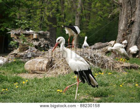 White Storks. Ciconia Ciconia On The Farm Rural Scene