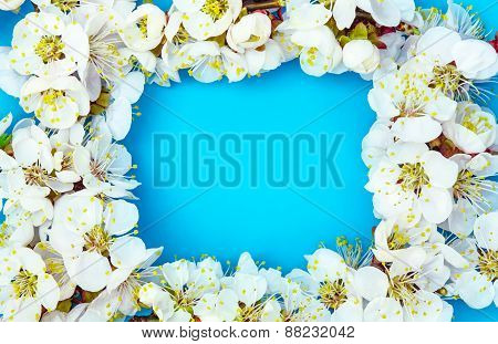 Frame from apricot blossom isolated on blue