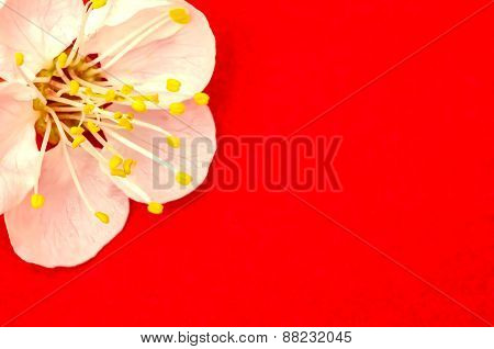 One apricot flower close up isolated on red